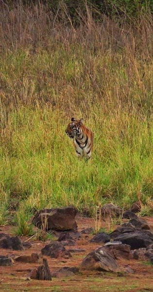 4N/5D Tadoba Tiger Tour Package