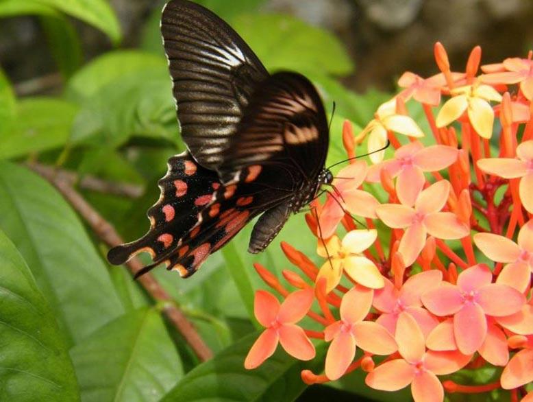 Flying Beauties Of Kerala (Butterflies) Tour