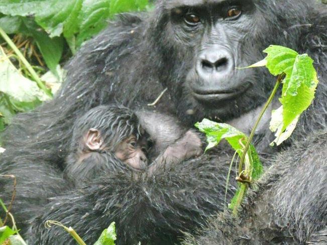 Gorilla Tracking Experience Tour