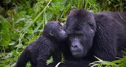 11 Days Rwanda Community And Congo Gorillas Tour
