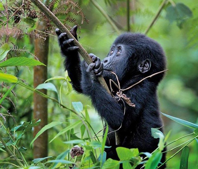 7 Days Primate Cir-cute Safari – Rwanda  Tour