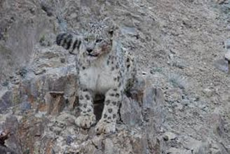 In Quest Of The Snow Leopard Package