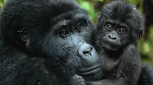 2 Days Rwanda Mountain Gorilla Experience