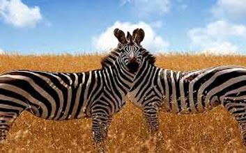 Maasai Mara,Lake Nakuru,Amboseli,Arusha,Serengeti,Ngorongoro Crater Budget Safari. Package