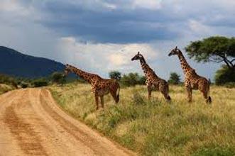 Group Joining Maasai Mara/ Lake Nakuru/ Amboseli/ Arusha Tarangire/ Ngorongoro/ Serengetti/ Tour