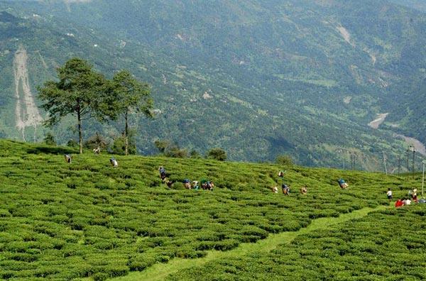 Explore Temi Tea Garden Tour