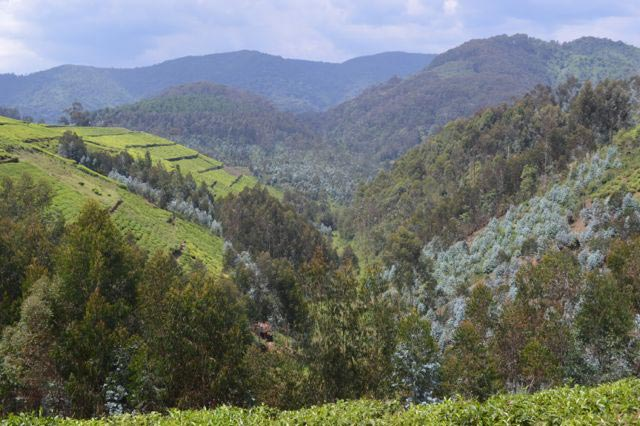 Beautiful Rwanda: Nyungwe - Lake Kivu  Gorillas Tour