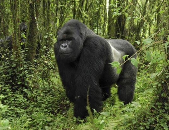 Queen Elizabeth Park, Chimps & Gorillas Tour