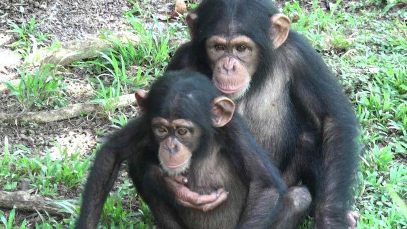 Queen Elizabeth Park - Chimps & Gorillas Tour