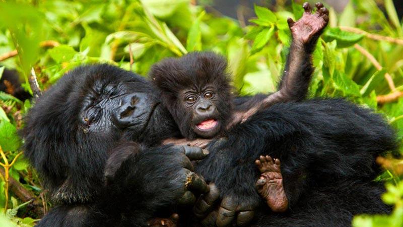 Drc Volcanos & Uganda Gorillas Adventure Package