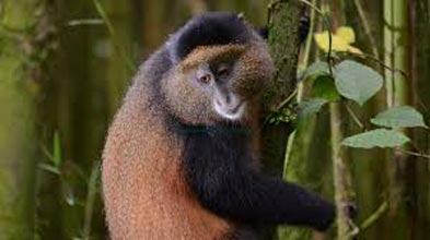 11 Days Primate Trip To Uganda Tour