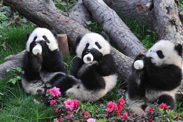 China Panda Base & Sanxingdui Museum Day Tour