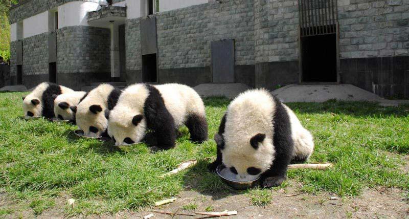 Enjoy A Blissful Half Day Chengdu Panda Tour