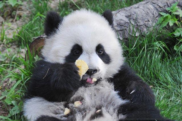 Wildlife Photography Workshop In Panda Habitat Tour