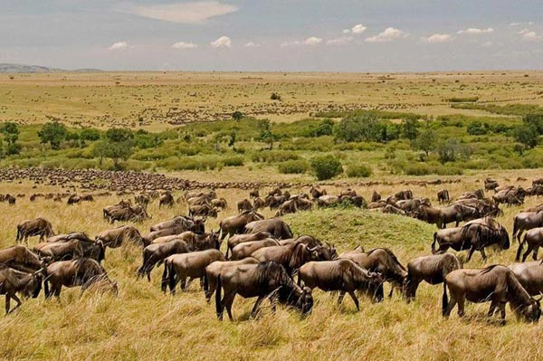Kenya Wildlife Safari Masai Mara Wildebeest Migration Safari Package
