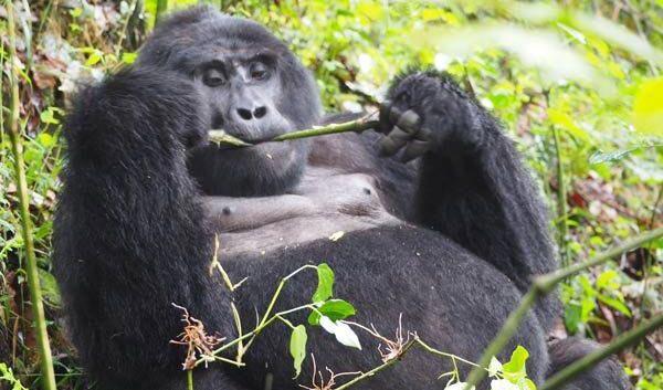 Uganda Safari - Gorilla Tracking Package