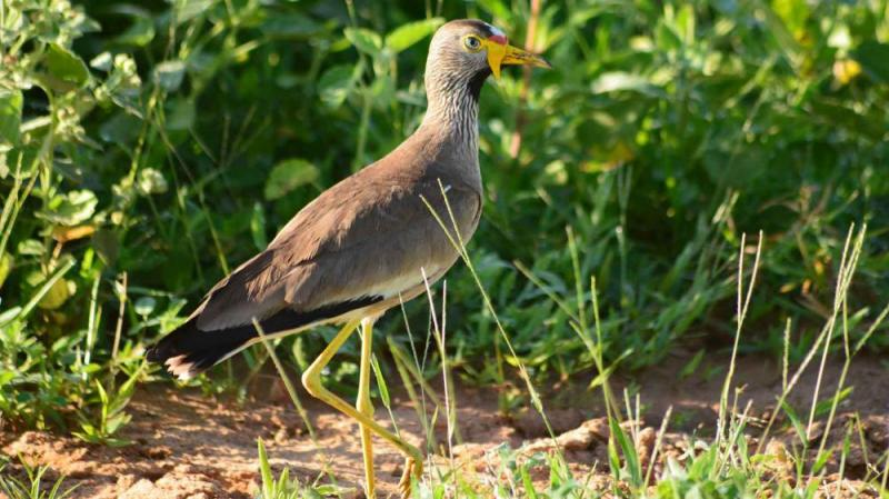 17 Days Uganda Birding Safari Package
