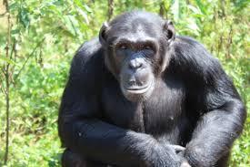 1 Day Ngamba Island Chimpanzee Tour Package
