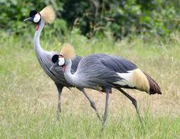10 Days Uganda Birding Paradise