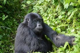 14 Days Combined Uganda Rwanda Gorilla Chimpanzee Trekking Tour Package