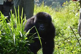 18 Days Budget Gorilla Trekking Safari In Uganda Package