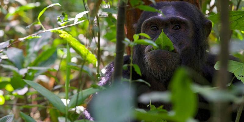 8 Day Gorillas, Chimps And Wildlife Package