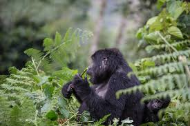 3 Day Eastern Lowland Gorilla Trek Package