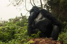3 Day Rwanda Gorillas' In The Mist Tour  Package