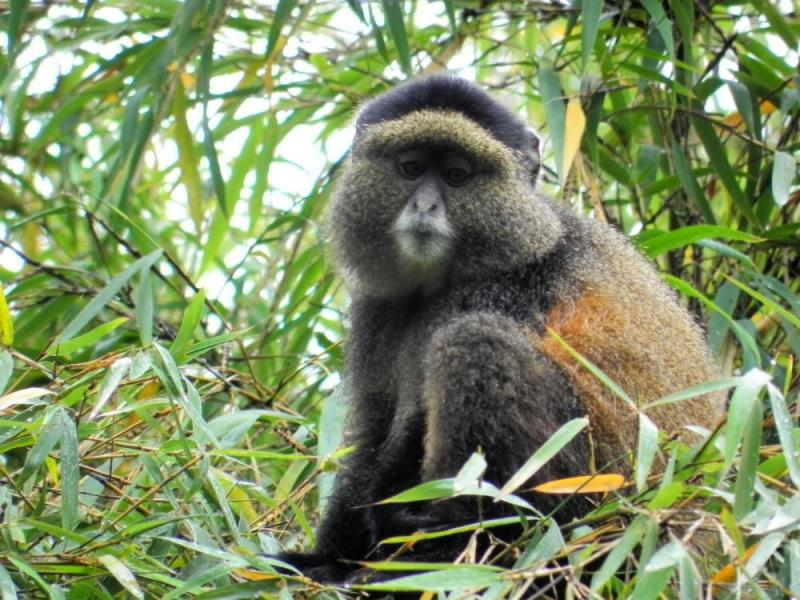 4 Day Uganda Gorilla Trek & Golden Monkeys To And From Kigali, Rwanda Package