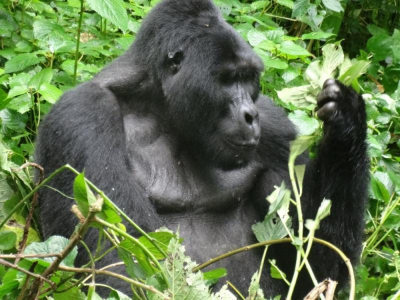 4 Day Democratic Republic Of Congo Mountain Gorilla And Chimpanzee Trek Package