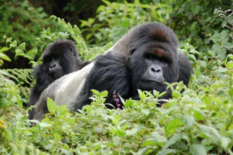 4 Day Uganda Gorilla Trek, Game Drive And Rwanda Golden Monkey Circuit Package