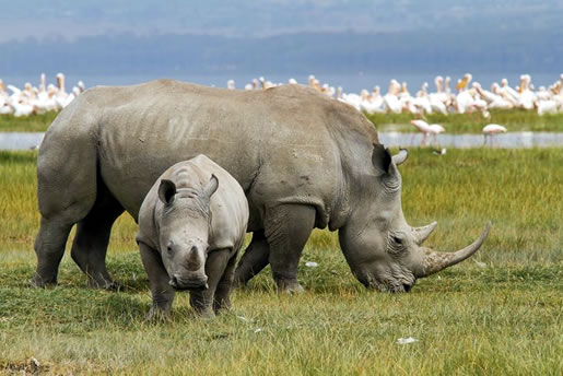 6 Days Kenya Safari From Nairobi To Masai Mara, Lake Nakuru, Amboseli And Tsavo East Ending In Momba