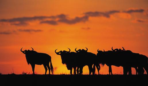 7 Days Mombasa Safari To Tsavo East, Tsavo West, Amboseli, Nakuru And Masai Mara Ending In Nairobi P