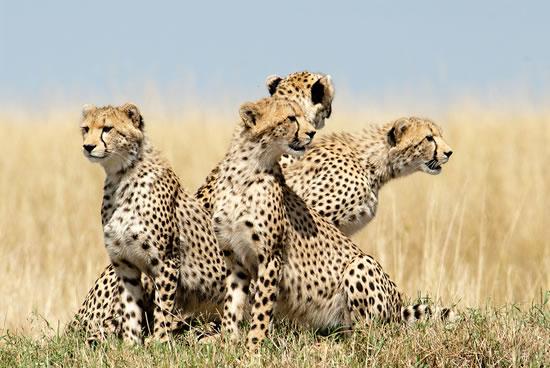 7 Days Mombasa Safari To Tsavo East, Tsavo West, Amboseli, Nakuru And Masai Mara Ending In Nairobi T