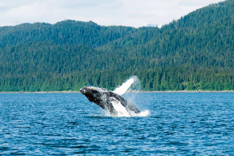 Juneau Whale Watching & Salmon Bake Combo Package