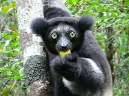 Encountering The Famous Indri Indri & Aye Aye Package