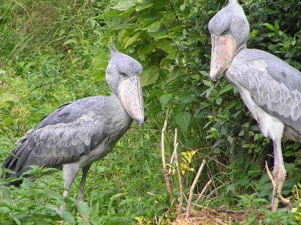 Uganda Safari – Primates And Birding Safaris In Uganda Tour