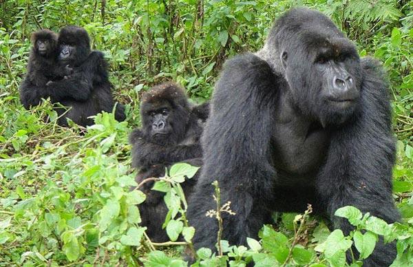 6 Days Gorilla Safaris In Uganda Tour
