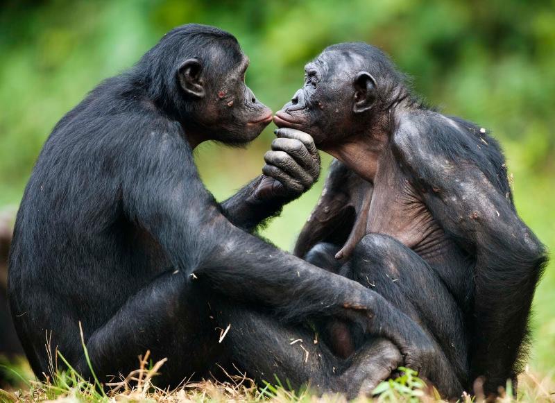 6-days Gorilla & Chimp Tracking, Wildlife Game View Uganda Safari/tour