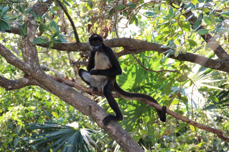Belize Zoo Howler Monkey Sanctuary Tours
