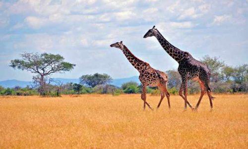 5 Days Kenya Safari To Tsavo And Amboseli Tour