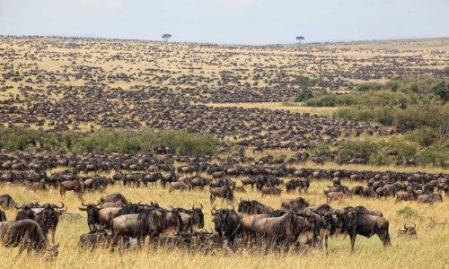 3 Days Mara Wildebeest Migration Tour