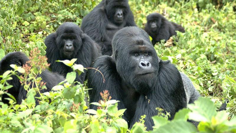 Gorilla Tracking In Bwindi From Kampala Tour