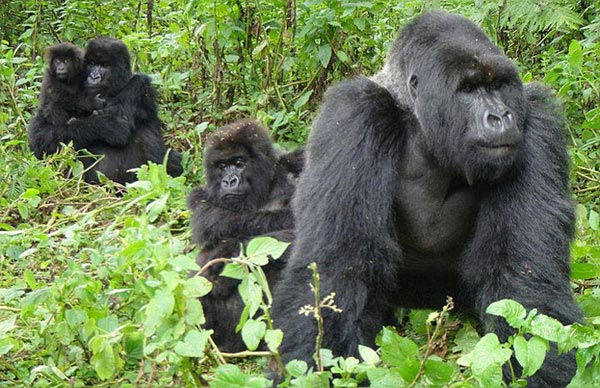 Uganda Gorilla Safari Package