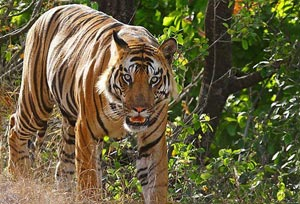 Rendezvous With Tigers In Bandhavgarh Tour