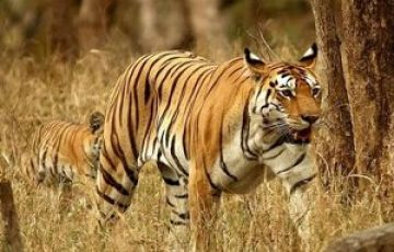 Tadoba – Nagzira And Pench National Park Tour
