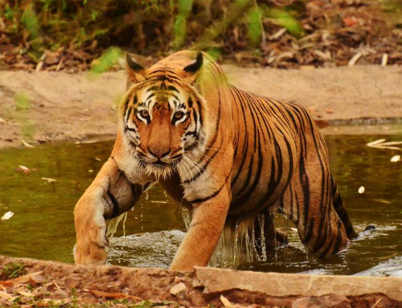 Tadoba – The Land Of Tiger Tour