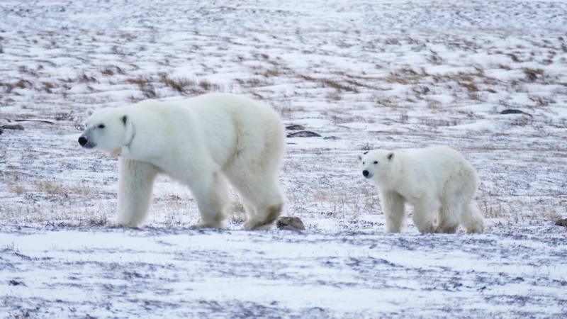 Churchill And Polar Bear Experience Tour Package