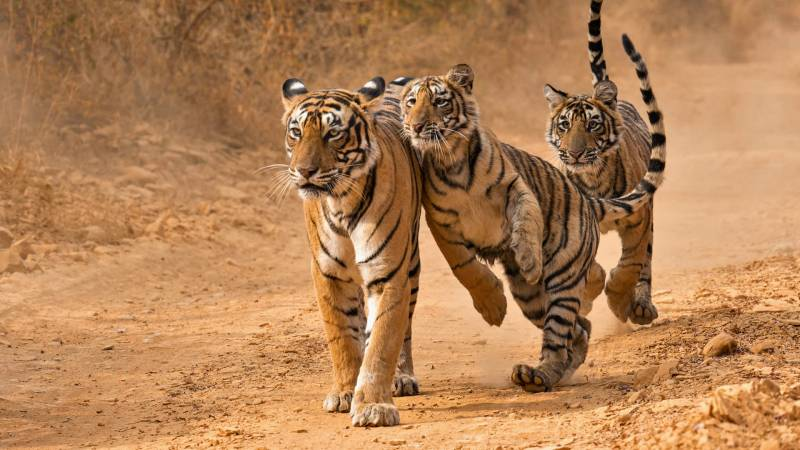 Rajasthan Wildlife Tour ( Thrilling Wildlife Safari In Tiger Land & Bird Watching) Tour