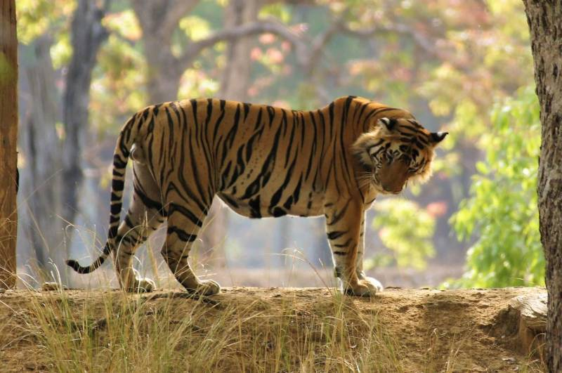 Tiger Tour In India ( Tiger Viewing At Top Tiger Parks Of India ) Tour